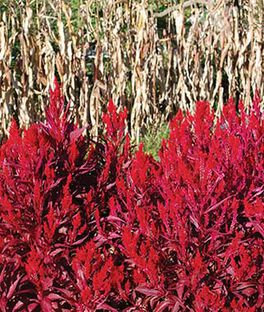 Celosia, Dragon's Breath, , large