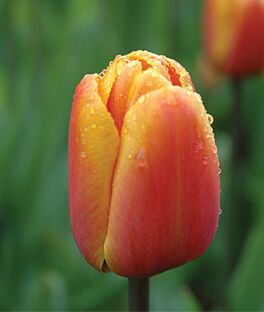 Tulip, Brown Sugar, , large