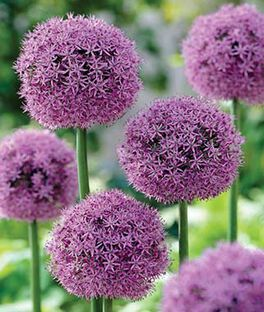 Allium, Gladiator, , large