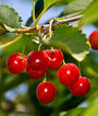 Cherry, Sour, Montmorency, , large