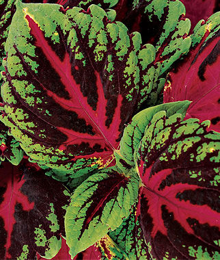 Coleus, Picture Perfect Red, , large