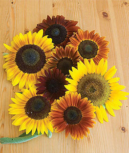 Sunflower, Autumn Beauty Mix Organic, , large