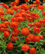Zinnia, Zahara Double Fire, , large