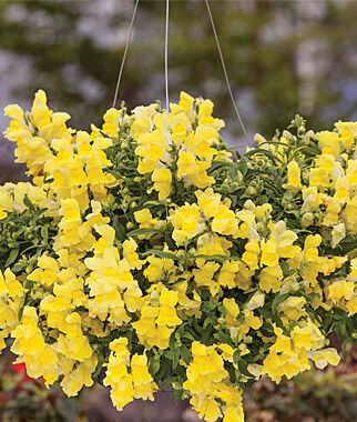Snapdragon, Candy Showers Yellow 3 Plants, Annuals, Annual Flowers, Annual Flower Plants, Flower Plants, Flowering Annuals, Bedding Plants