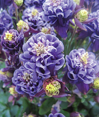 Types of Purple Flowers | several flowers with 5 bluish-purple ...