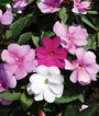Impatiens, Jungle Rain Mix Improved, , large
