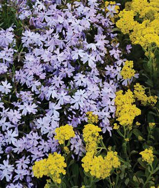 Creeping phlox, Emerald Blue , , large