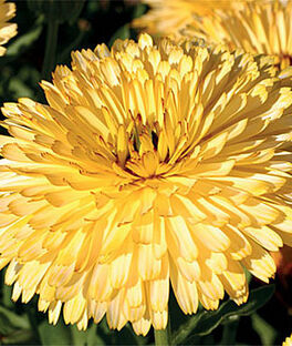 Calendula, Lemon Cream™, , large