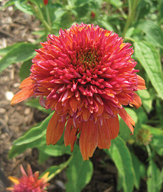 Echinacea, Double Scoop Orangeberry PPAF, , large