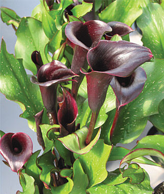 Calla Lilly, Black Star, , large