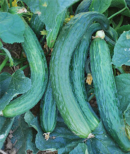 Cucumber, Suyo Long, , large