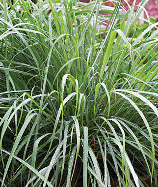 Herb, Lemongrass, , large