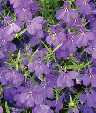 Lobelia, Crystal Palace Blue, , large