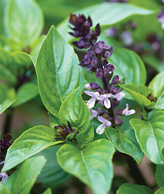 Basil, Christmas, , large