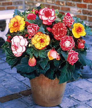 Begonia, Picotee Mix , , large