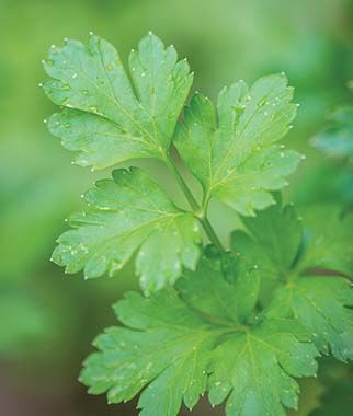 Parsley, Italian Dark Green Organic, , large