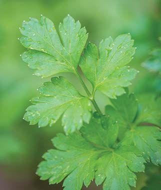 Italian Drk Green Organic Parsley Seeds And Plants Herbs