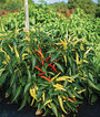 Pepper, Sweet, Savour Hybrid, , large