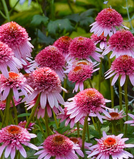 Echinacea purpurea, Butterfly Kisses, , large