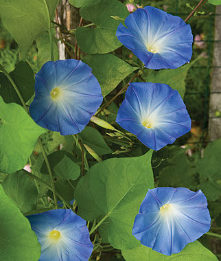 Morning Glory, Heavenly Blue, , large