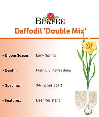 Daffodil, Double Mix , , large
