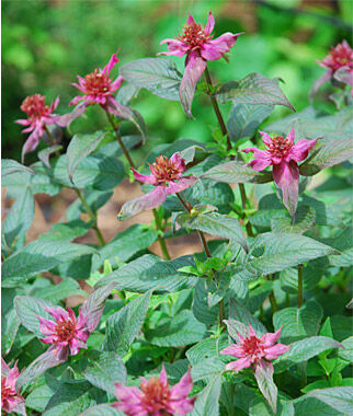 Monarda, Bee's Knees PPAF, , large