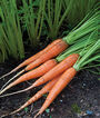 Carrot,  Big Top, , large