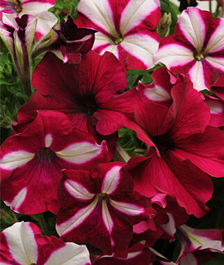 Fuseables, Single Species Burgundy Starlight, , large