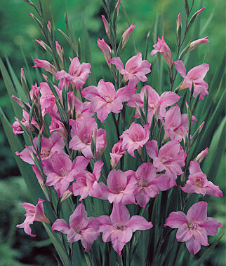 Gladiolus nanus Charming Lady, , large