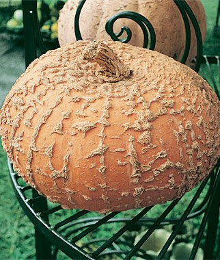 Pumpkin, Galeux D'Eysines, , large