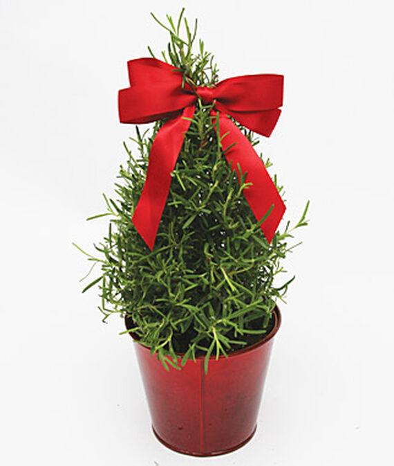 Rosemary Mini Tree in Red Tin Pot