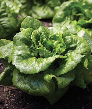 Lettuce, Buttercrunch , , large