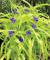 Tradescantia, Blue & Gold, , large
