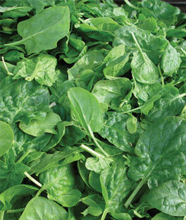 Spinach, Double Choice Hybrid, , large