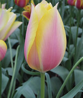 Tulip, Blushing Lady, , large