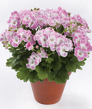 Geranium, Soft Spoken , , large