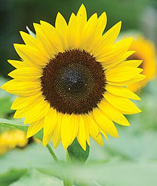 Sunflower, Jua Maya Hybrid - Burpee