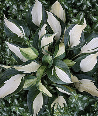 Hosta, Dancing Stars, , large