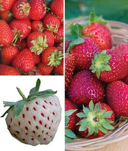 Strawberry, Gourmet Collection , , large