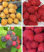 Raspberry, Tricolor Collection, , large