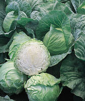 Cabbage, Early Jersey Wakefield, , large