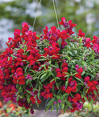 Snapdragon, Candy Showers Red 3 Plants Annuals, Annual Flowers, Annual Flower Plants, Flower Plants, Flowering Annuals, Bedding Plants