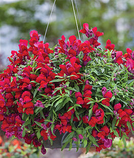Snapdragon, Candy Showers Red, , large
