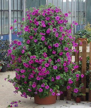Petunia, Tickled Pink Hybrid, , large