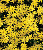 Coreopsis, Moonbeam, , large