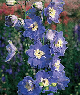 Delphinium, Summer Skies, , large