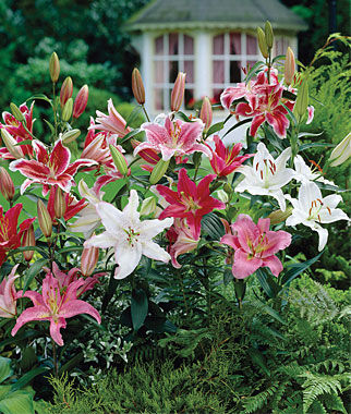 Lilies, Fragrant Oriental Mixed, , large