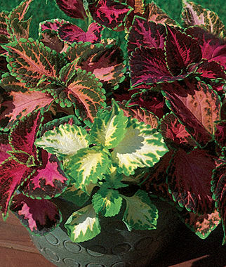 Coleus, Rainbow Mixed Colors, , large