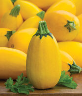 Squash, Summer, Golden Egg Hybrid, , large