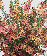 Verbascum, Southern Charm Hybrid, , large